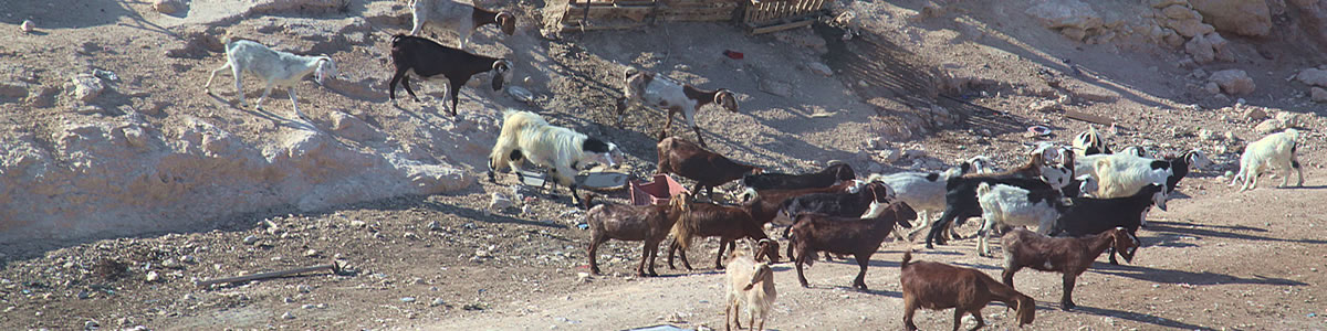 Goats at a bedouin camp